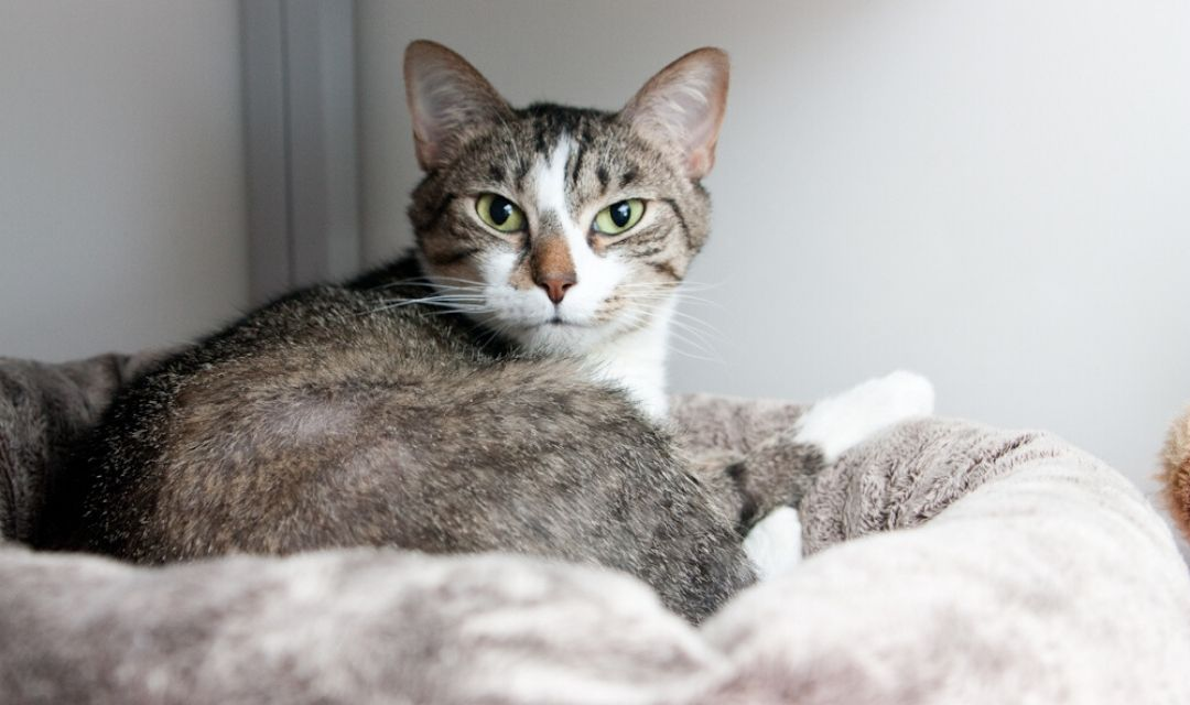 Tabby Cat with cute brown nose