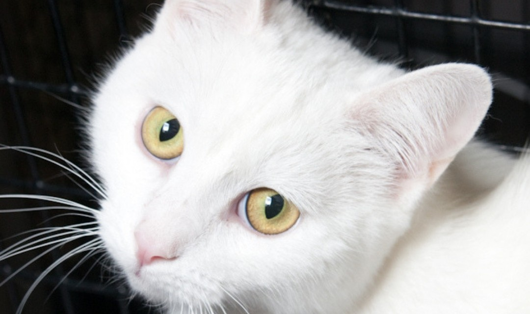 Close Up of White Cat with Yellow Eyes