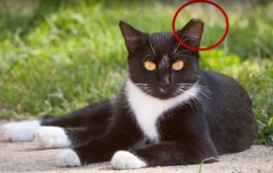 Feral Cat with ear tip