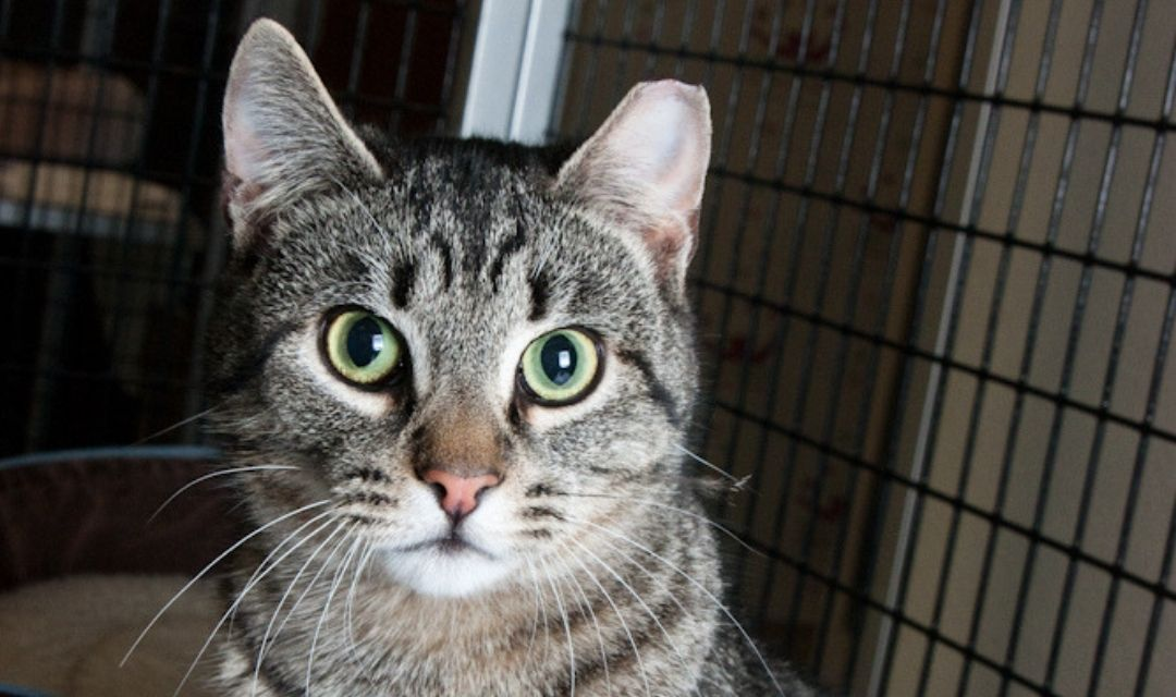 Tabby Cat With Green Eyes and a Tipped Ear