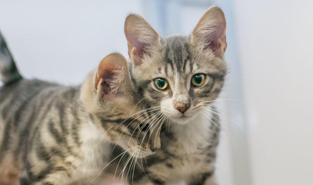 Two Tabby Kittens - One Nuzzling the Other